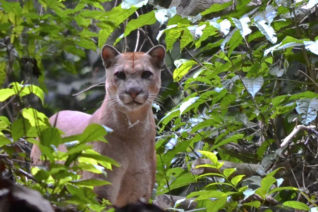 felins-puma-costa-rica-decouverte