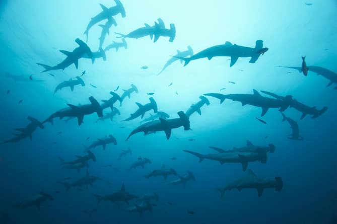sanctuaire-de-requins-requins-marteaux-costa-rica-decouverte