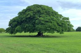 arbre-guanacaste-costa-rica-decouverte