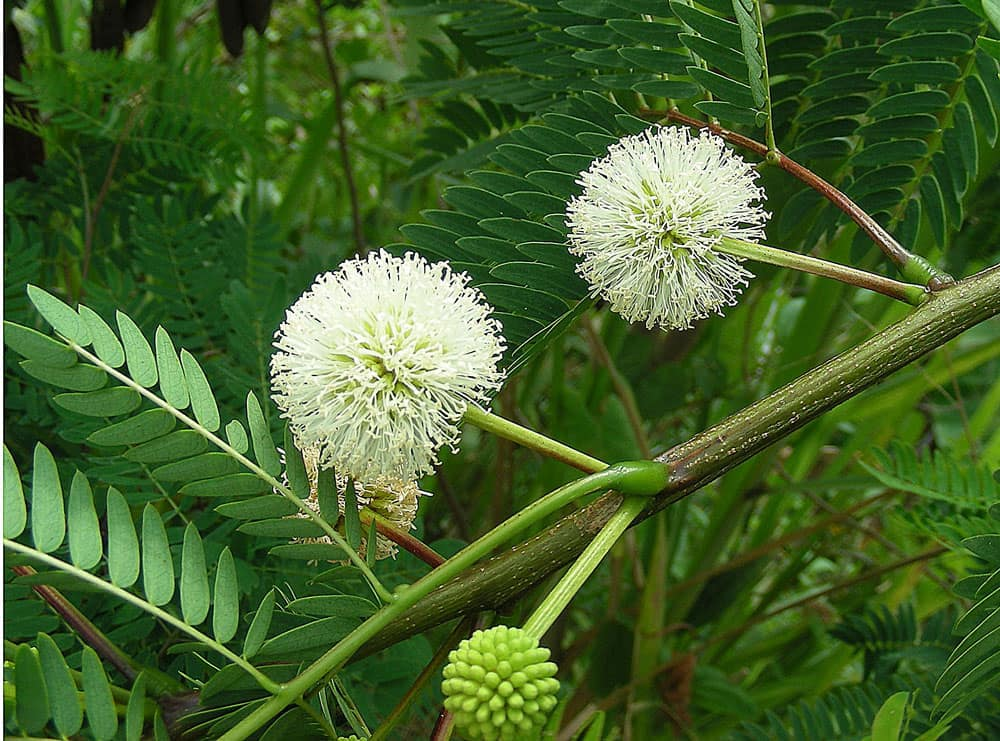arbre-guanacaste-fleur-costa-rica-decouverte