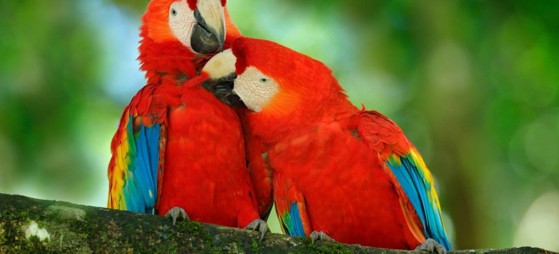 animaux-ara-ecarlate-costa-rica-decouverte