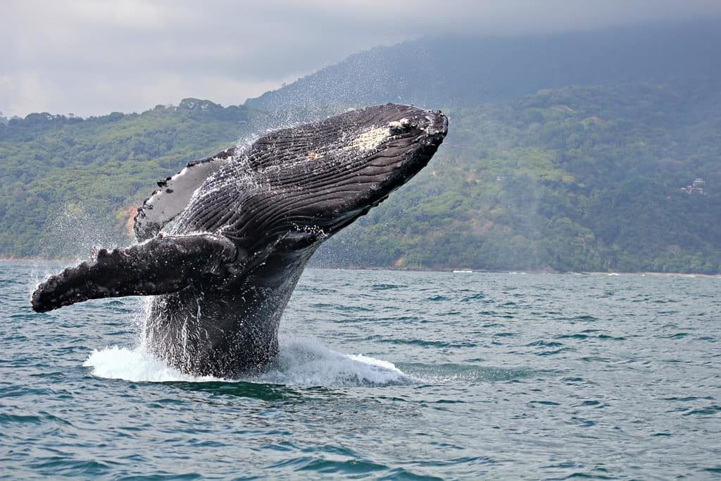 animaux-baleine-costa-rica-decouverte