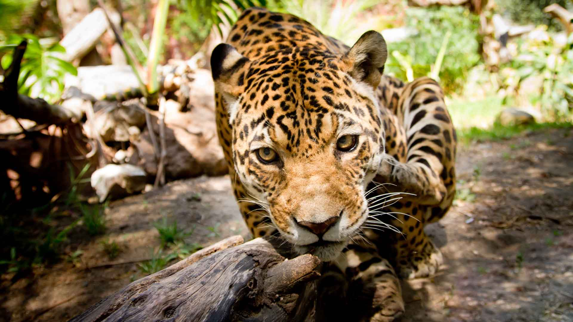 animaux-jaguar-costa-rica-decouverte