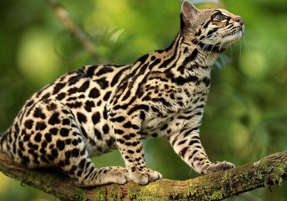 animaux-ocelot-costa-rica-decouverte