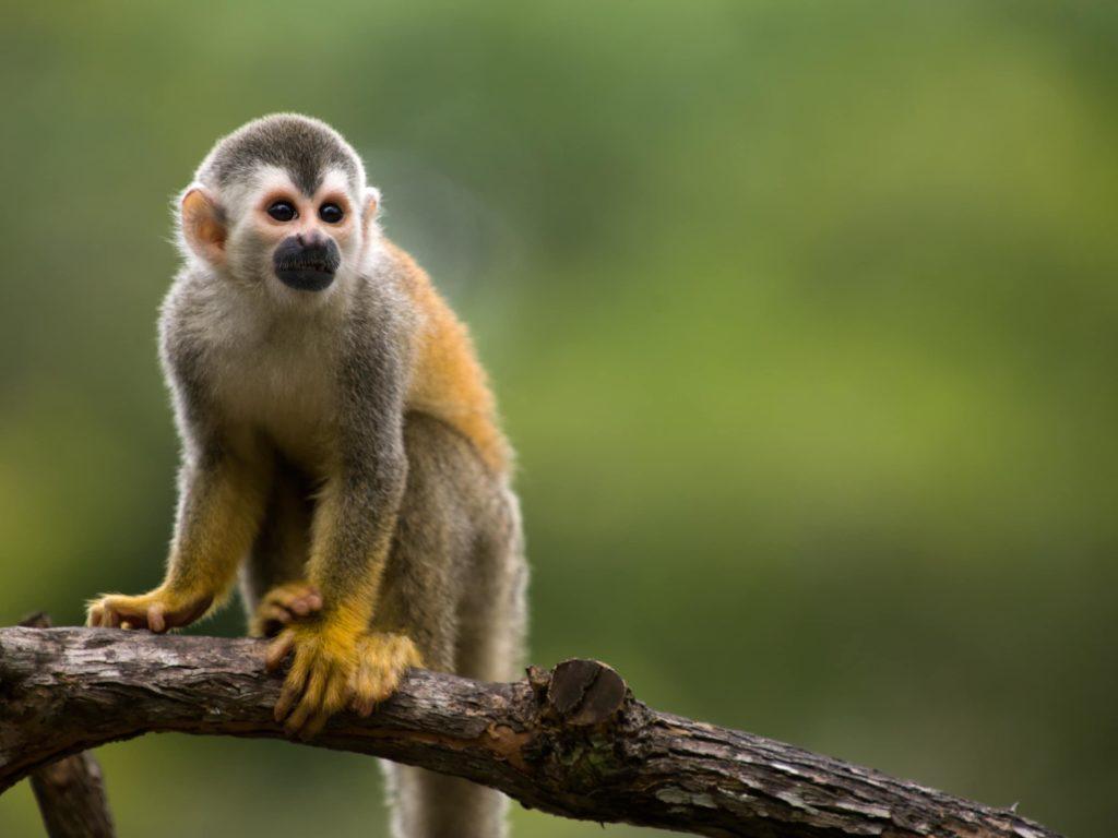 animaux-singe-ecureuil-costa-rica-decouverte