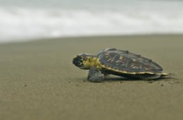 animaux-tortue-costa-rica-decouverte