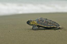 animaux-tortue-costa-rica-decouverte