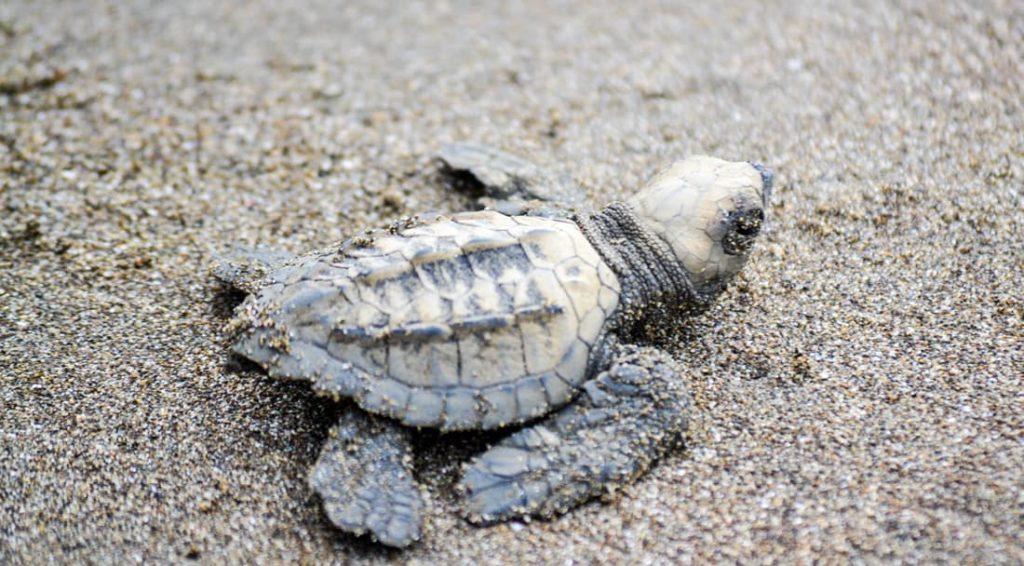 natgeo-arribada-tortue-costa-rica-decouverte