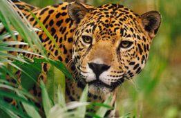 natgeo-jagaur-costa-rica-decouverte