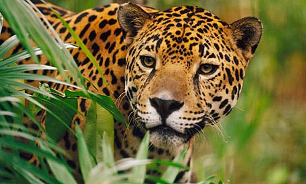 natgeo-jagaur-costa-rica-decouverte