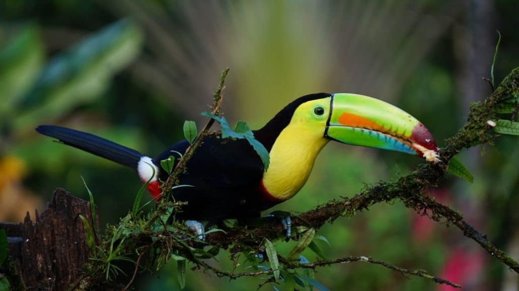 natgeo-toucan-costa-rica-decouverte