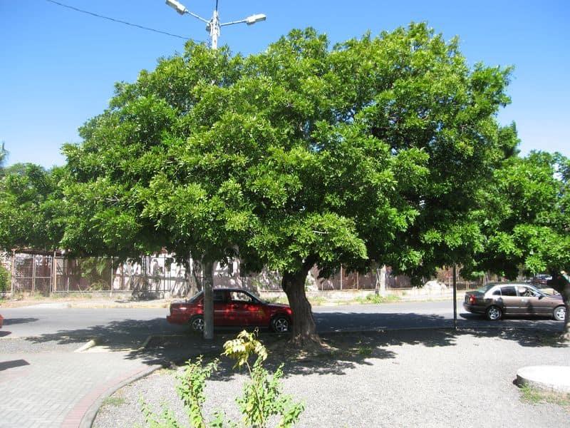 arbre-almendro-costa-rica-decouverte
