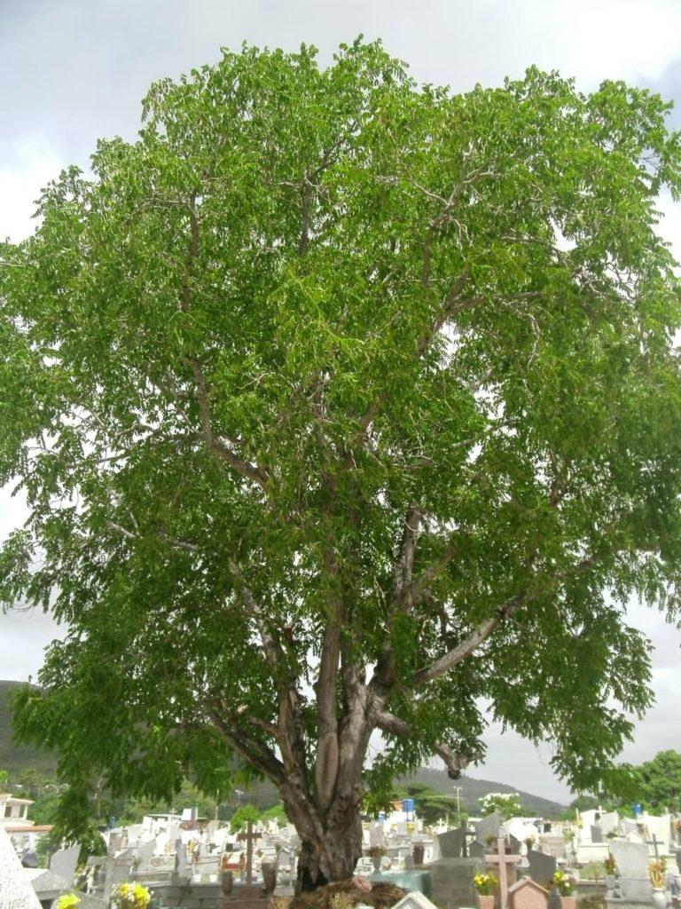 arbre-cedro-amargo-costa-rica-decouverte