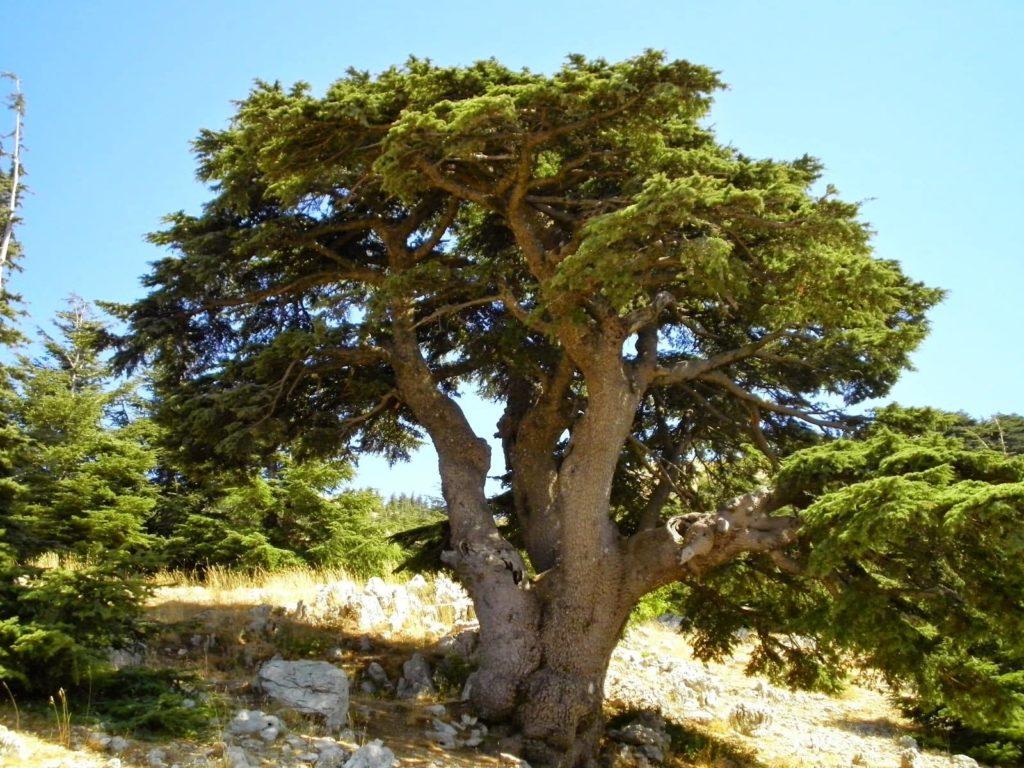 arbre-cedro-dulce-costa-rica-decouverte