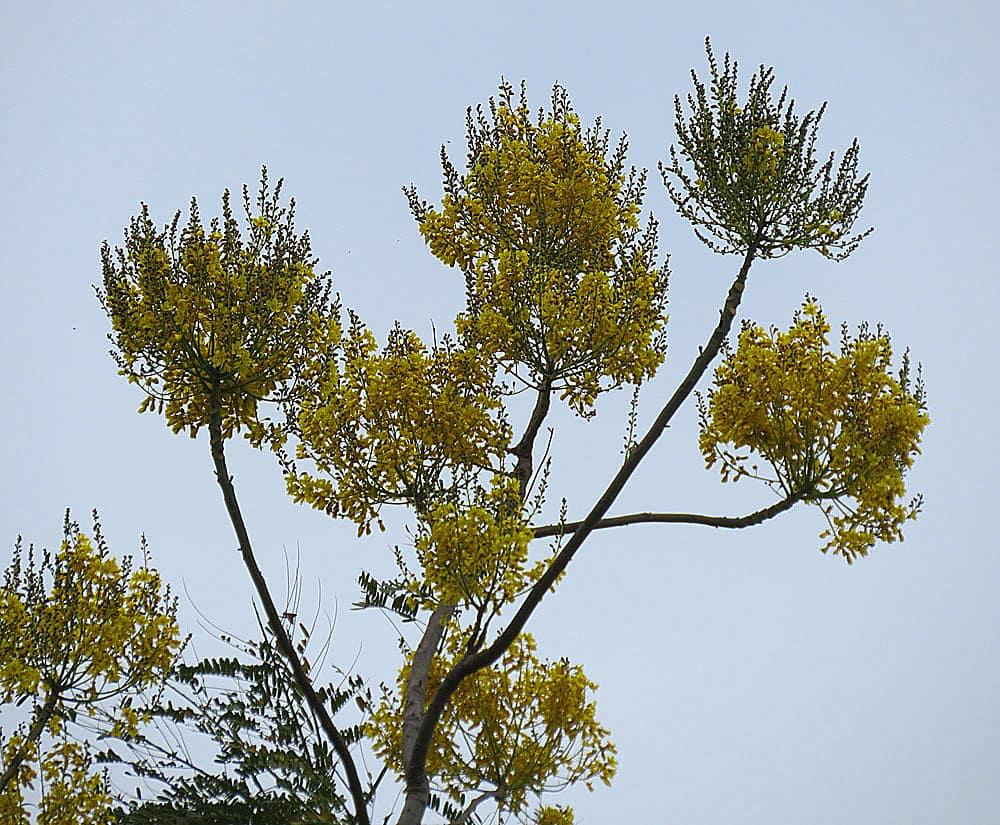 arbre-gallinazo-costa-rica-decouverte