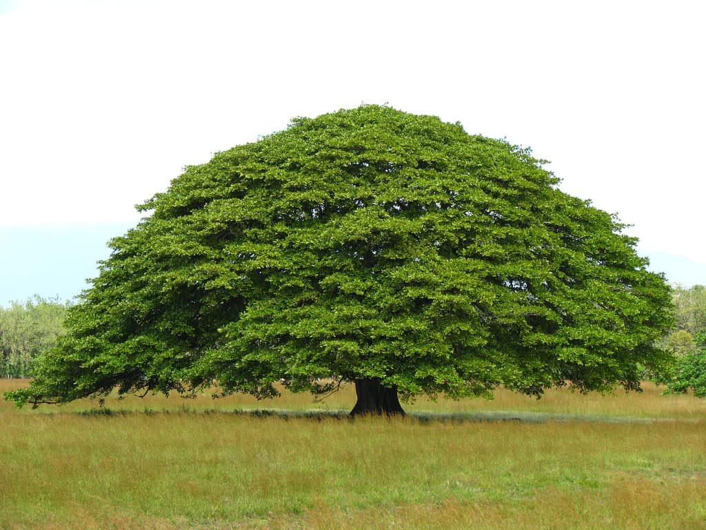 arbre-guanacaste-costa-rica-decouverte