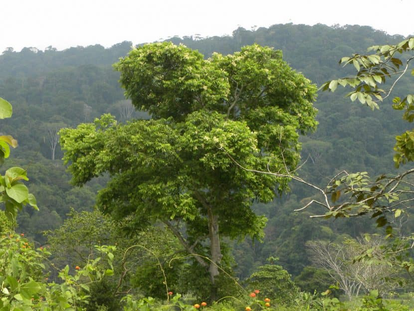 arbre-jobo-costa-rica-decouverte