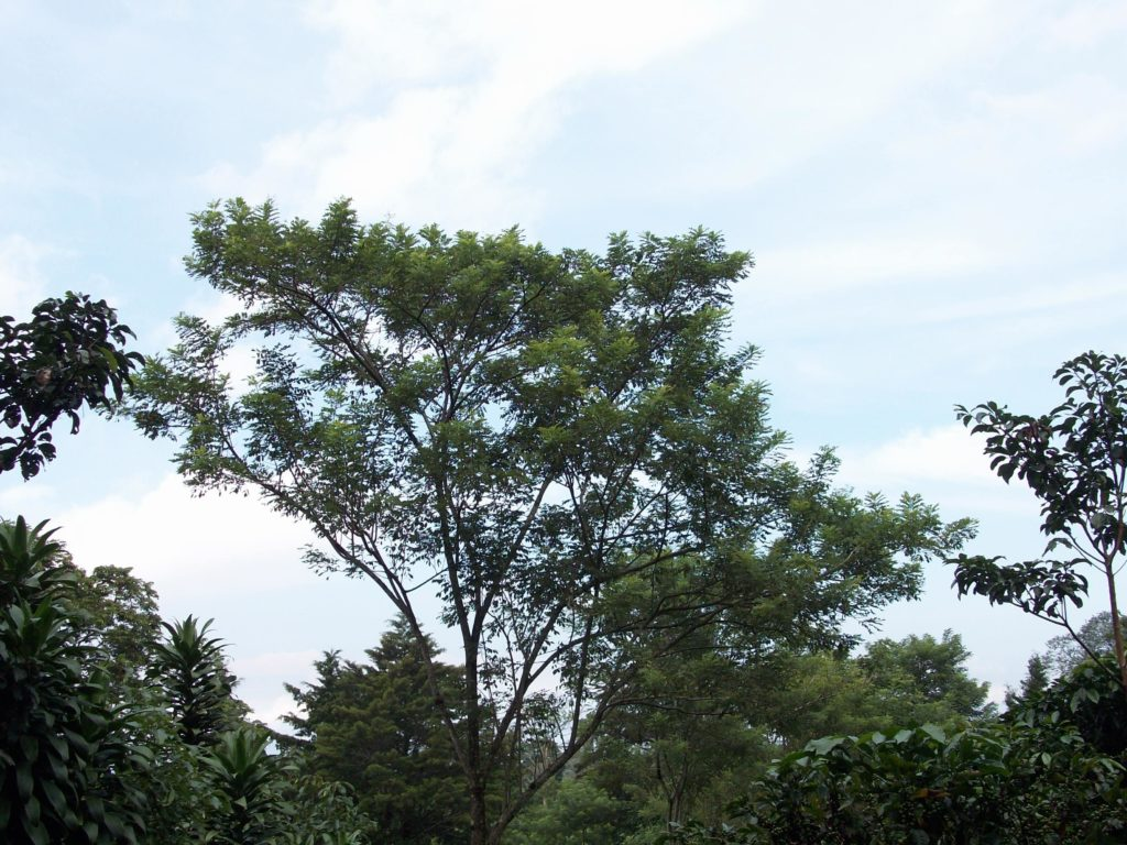 arbre-madero-negro-costa-rica-decouverte