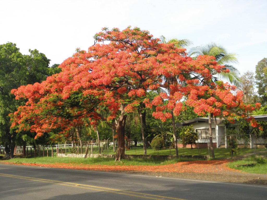 arbre-malinche-costa-rica-decouverte
