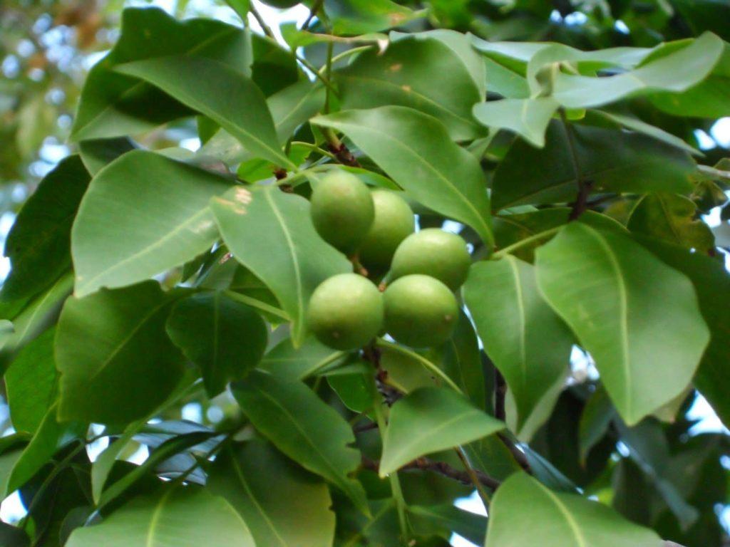 arbre-mamon-costa-rica-decouverte