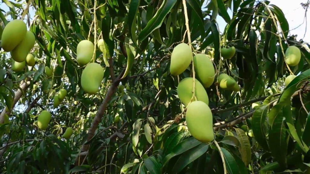 arbre-mangue-costa-rica-decouverte