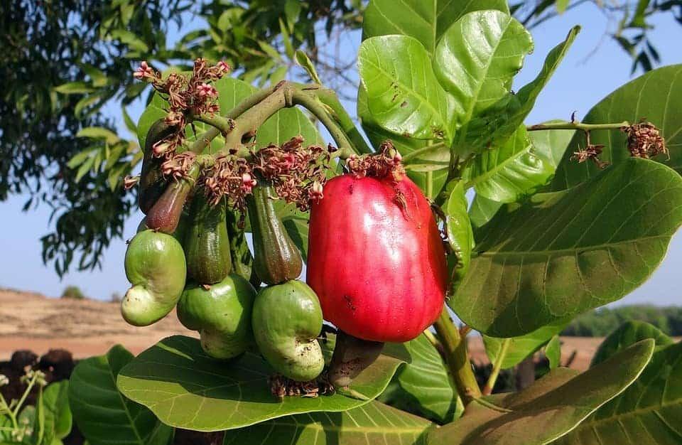 arbre-maranon-noix-cajou-costa-rica-decouverte
