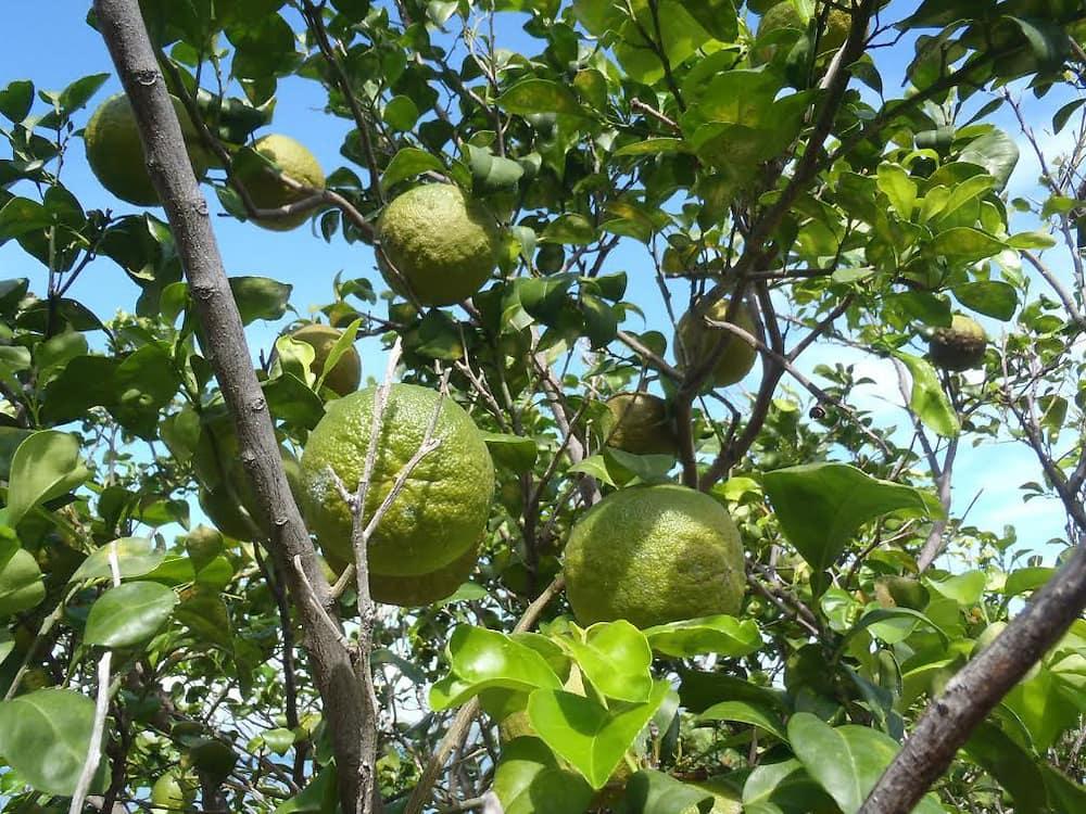 arbre-naranja-agria-1-costa-rica-decouverte