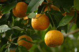 arbre-naranja-agria-costa-rica-decouverte
