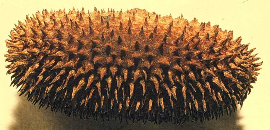 arbre-peine-de-mico-costa-rica-decouverte