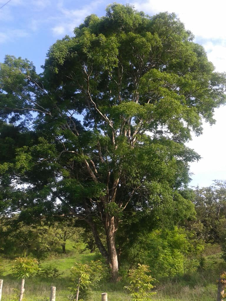 arbre-ronron-costa-rica-decouverte