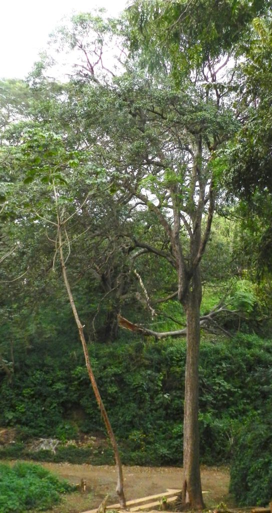arbre-tempisque-costa-rica-decouverte