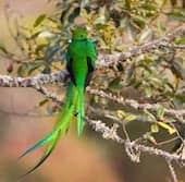 Le quetzal de Monteverde