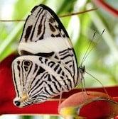 Papillon noir et blanc au Costa Rica