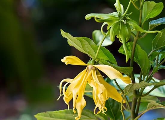 ylang-ylang fleur tropicale du costa rica