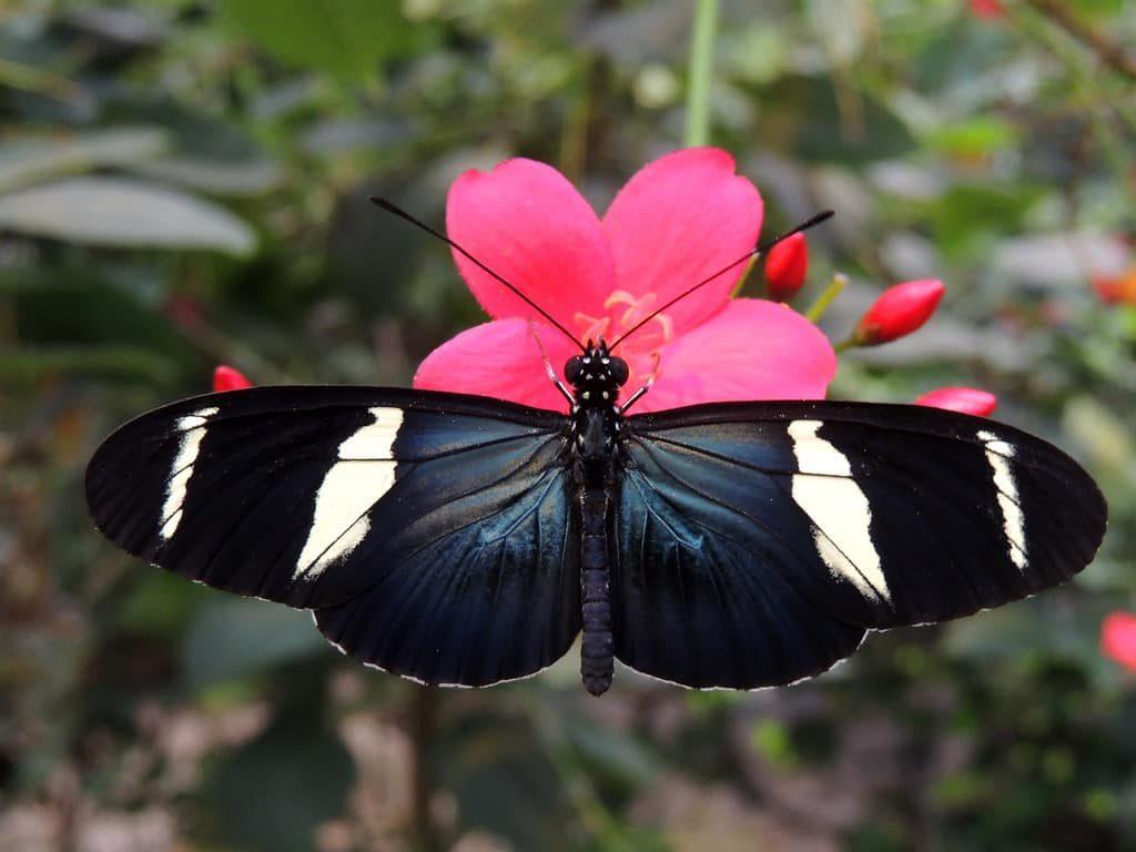 papillons-corales-mariposa-costa-rica-decouverte