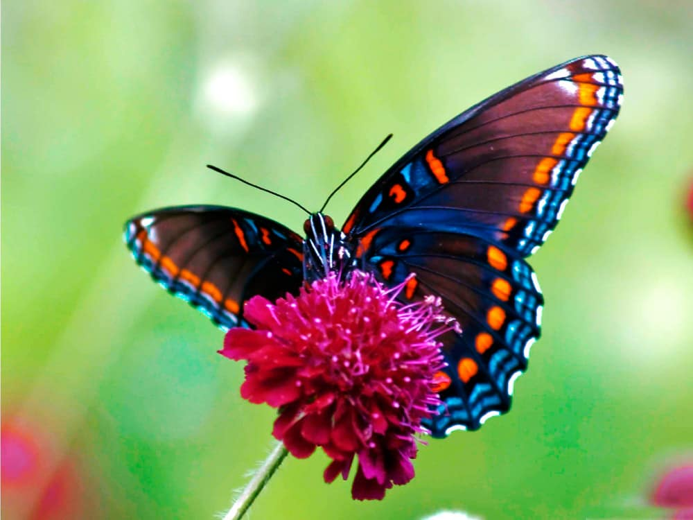 papillons-costa-rica-decouverte