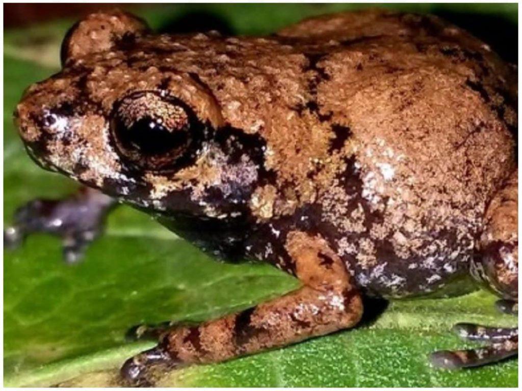 grenouille-diasporus-amirae-costa-rica-decouverte
