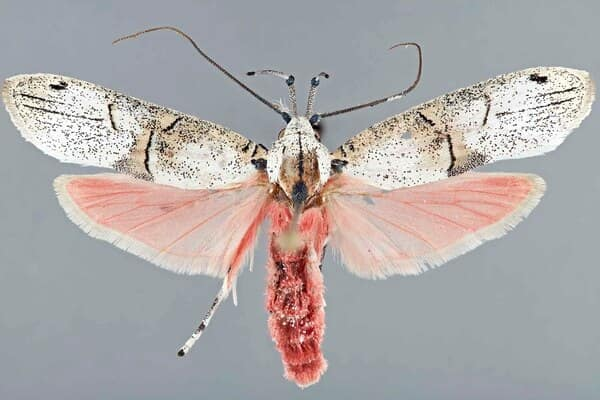 papillon-philtronoma-cbdora-costa-rica-decouverte
