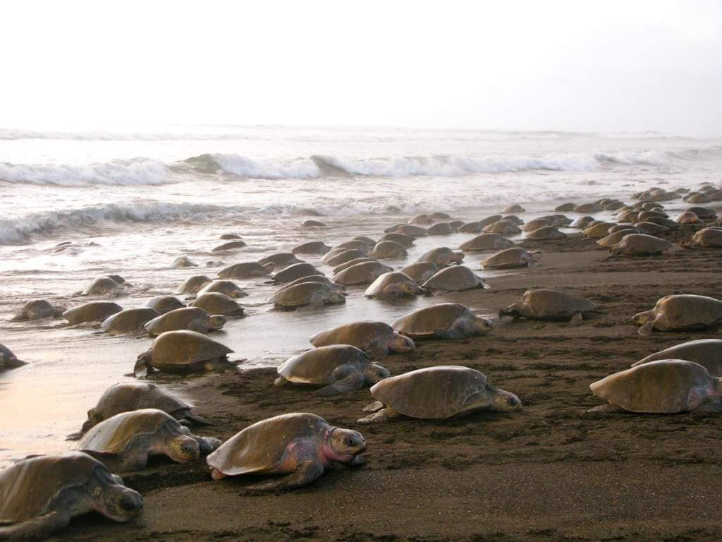 nidification-tortues-arrivee-costa-rica-decouverte