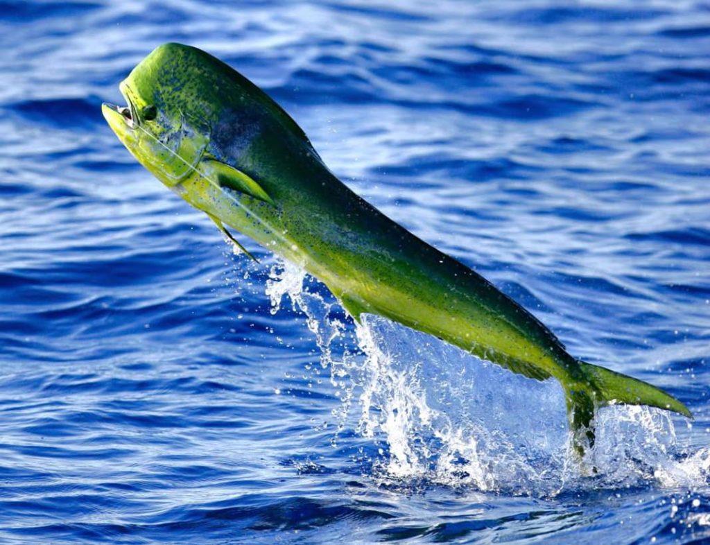 poissons-mahi-mahi-costa-rica-decouverte