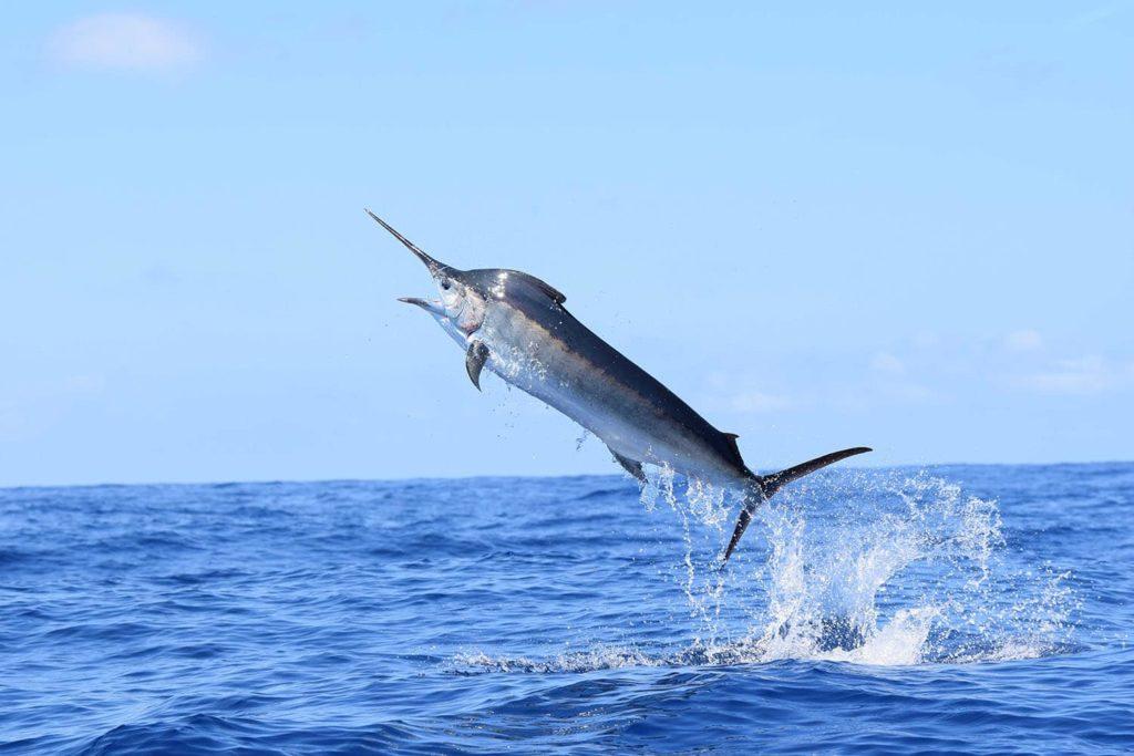 poissons-marlin-costa-rica-decouverte