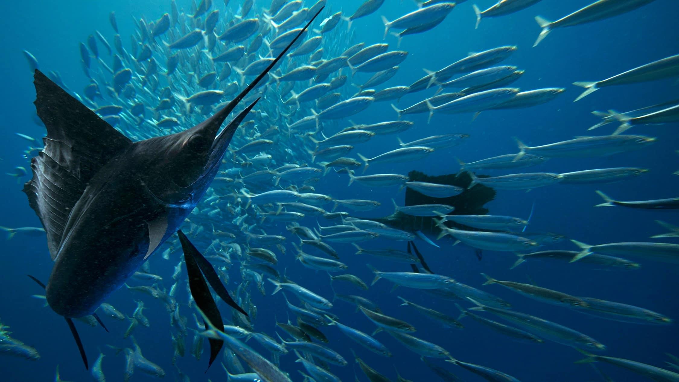 poissons-marlin-cover-costa-rica-decouverte