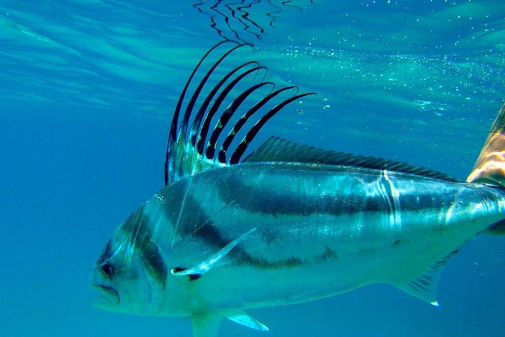 poissons-pez-gallo-costa-rica-decouverte
