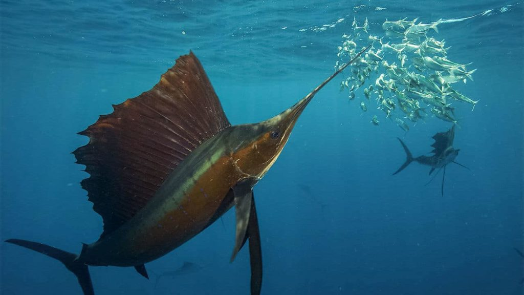 poissons-pez-vela-costa-rica-decouverte