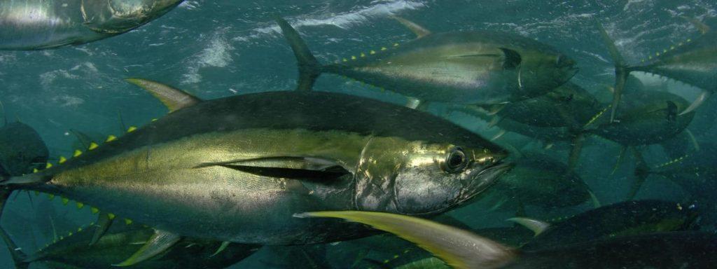 poissons-thon-jaune-costa-rica-decouverte