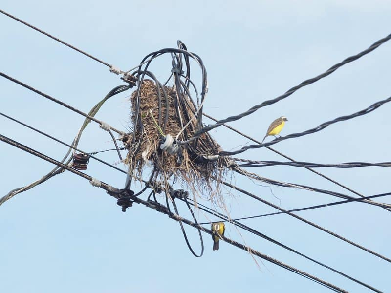 protection-oiseaux-cable-electrique-costa-rica-decouverte