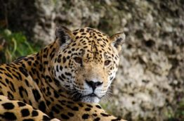 jaguar-mignon-costa-rica-decouverte