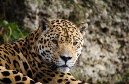 jaguar-mignon-costa-rica-decouverte