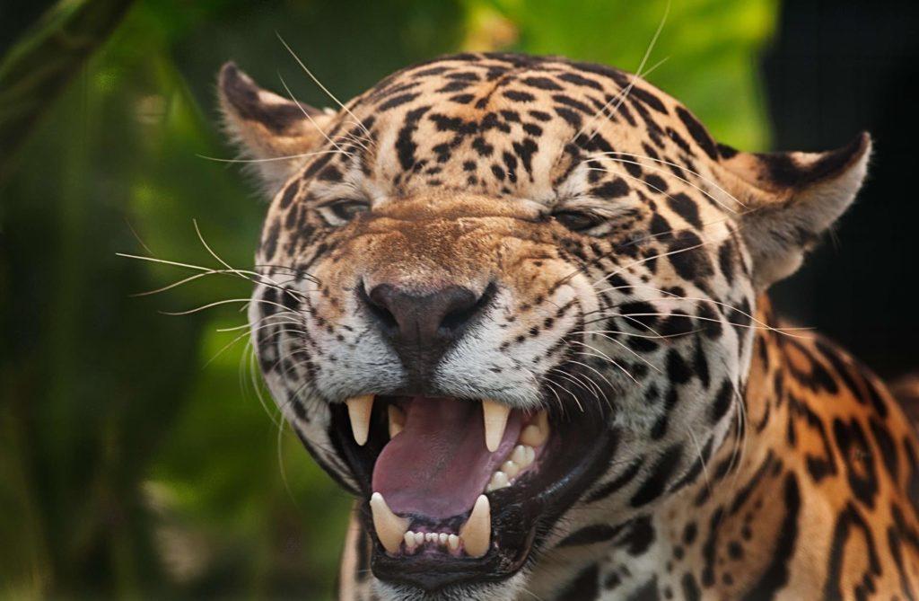 jaguar-sourire-costa-rica-decouverte