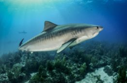 conservation-des-requins-requin-tigre-costa-rica-decouverte